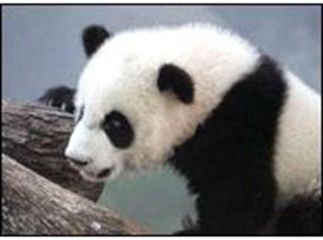 Panda pornosu işe yaramadı